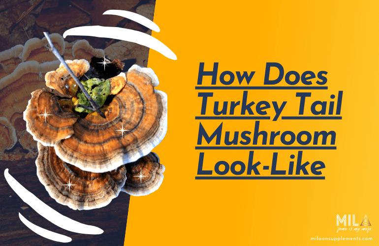 How Does Turkey Tail Mushroom Look Like