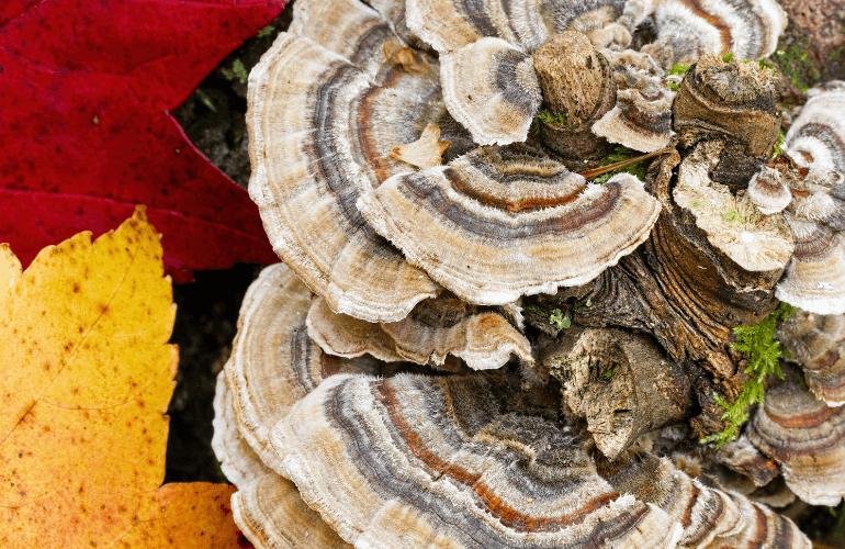 Turkey Tail mushroom tea recipes