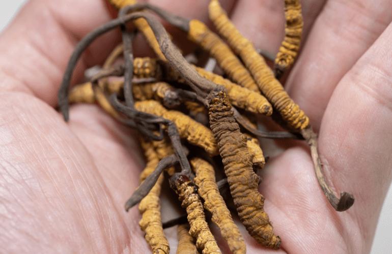 Cordyceps Sinensis in Hand
