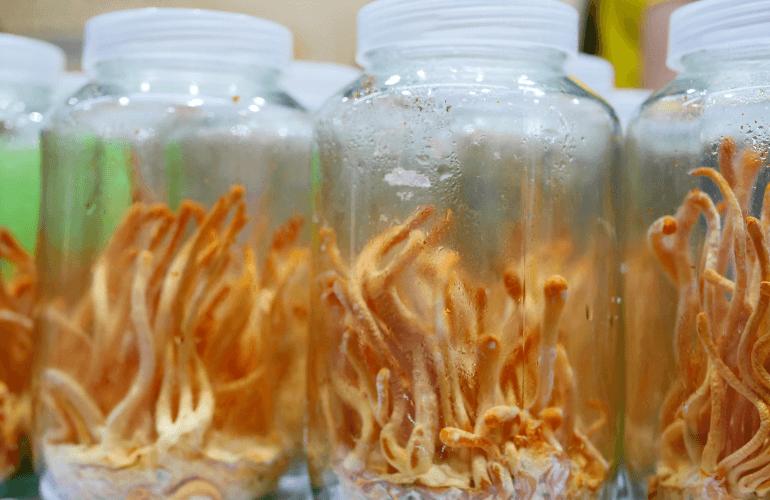 Grow Cordyceps at Home